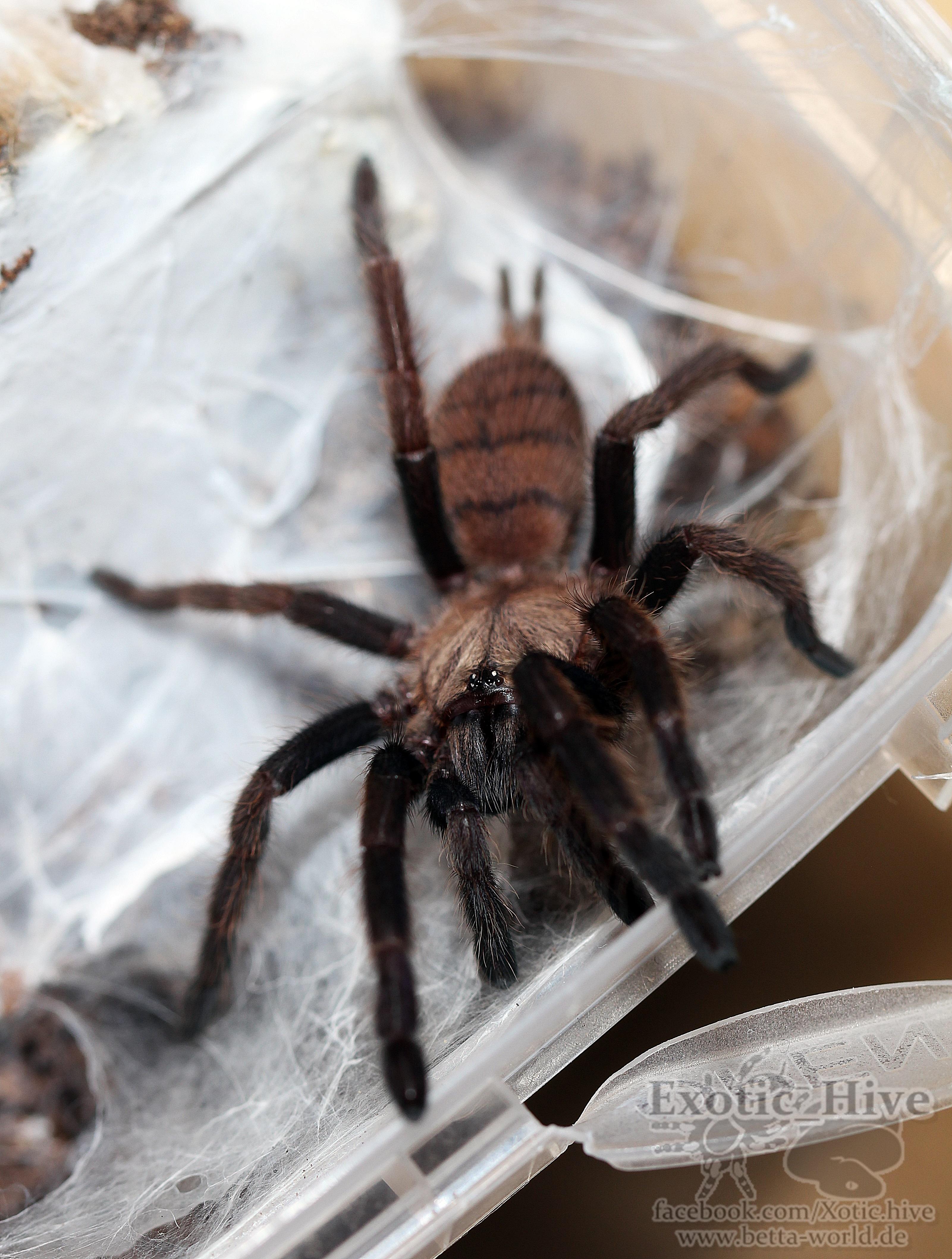 Chilobrachys firmbriatus 0.0.1