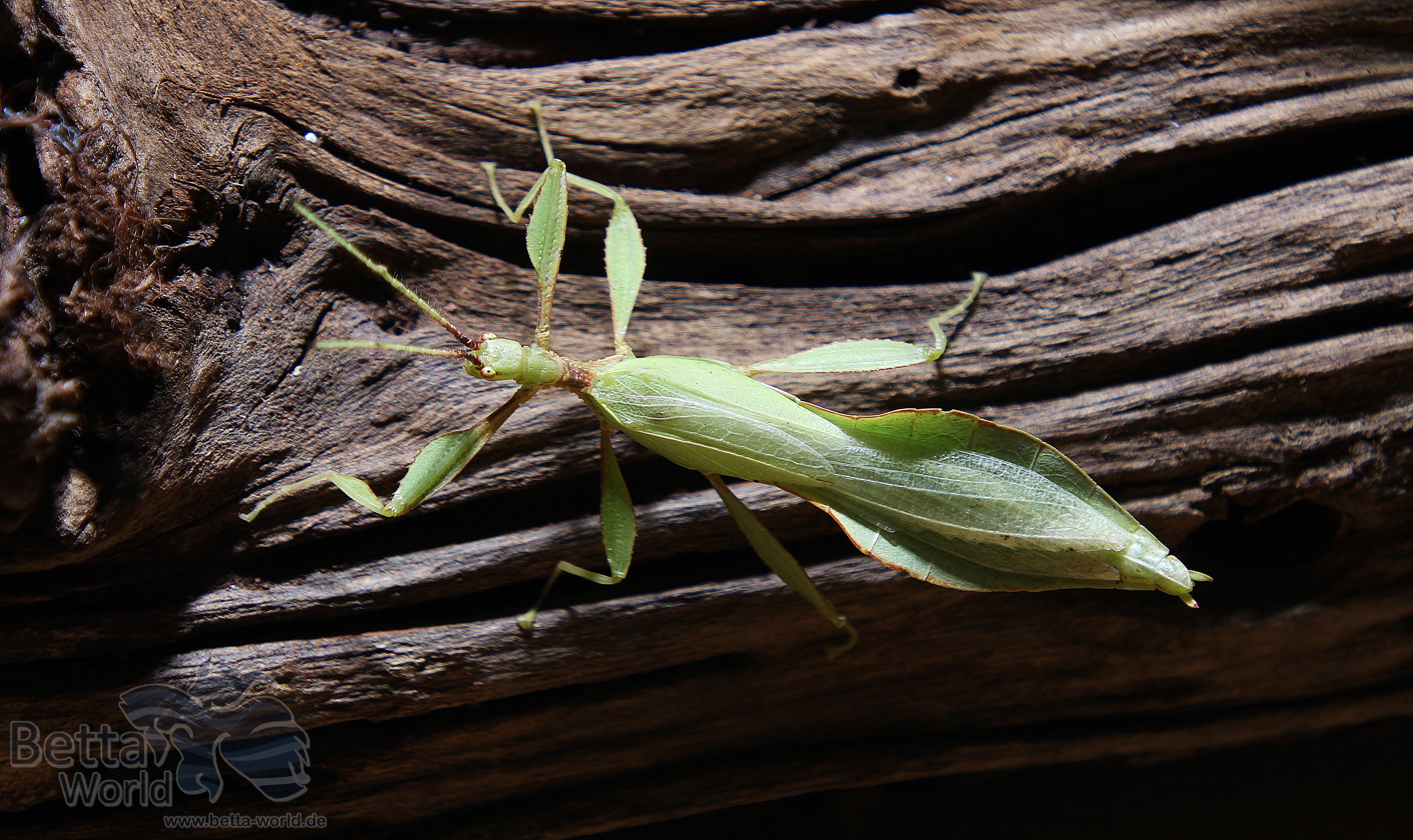 Männchen
